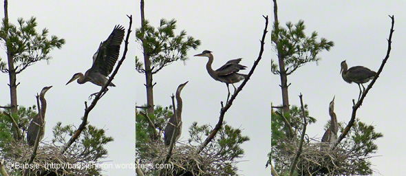 © Babsje (https://babsjeheron.wordpress.com) Great blue heron nestlings - first attempt at flying.