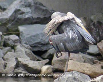 Great blue heron preening in perfect balance.
