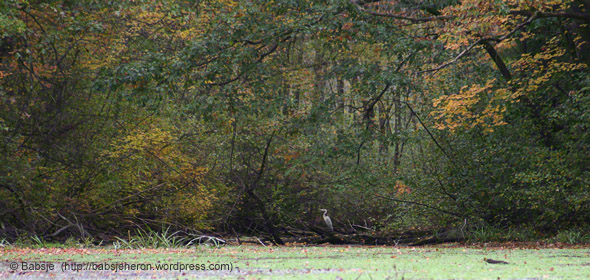 Great blue heron fledgling deep in the cove in Autumn.