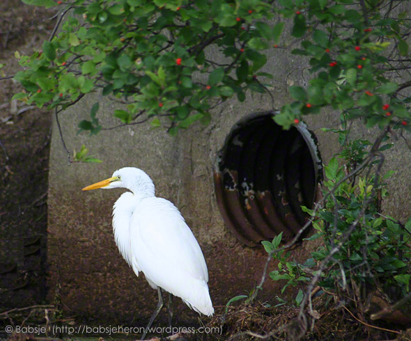 © Babsje (https://babsjeheron.wordpress.com) Great egret pauses by tunnel.
